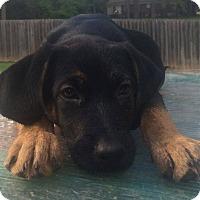 Adopt A Pet :: Shelby - North Brunswick, NJ