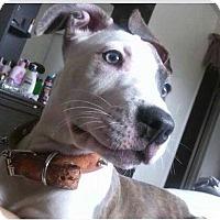 Adopt A Pet :: Brittany - Las Vegas, NV