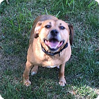 Adopt A Pet :: Sugar - Courtesy Listing - Independence, MO