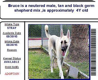 German Shepherd Dog Dog for adoption in Black Forest, Colorado - Bruce