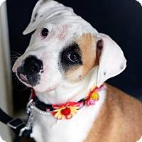 Adopt A Pet :: Bouree - Baton Rouge, LA