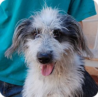 Old English Sheepdog/Bearded Collie Mix Dog for adoption in Las Vegas, Nevada - Rowdy Randy