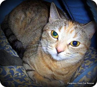 Domestic Shorthair Cat for adoption in Richmond Hill, Ontario - Nelly