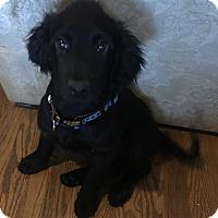 Adopt A Pet :: Penelope-meet me 2/19 - Manchester, CT