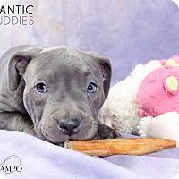 Adopt A Pet :: Venus - Reisterstown, MD