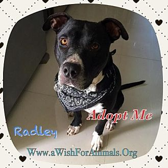 American Staffordshire Terrier/American Bulldog Mix Dog for adoption in Dana Point, California - Josh