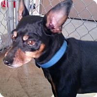 Adopt A Pet :: BUGSY - Cadiz, OH