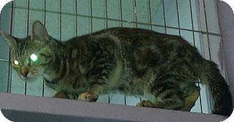 Domestic Shorthair Cat for adoption in Whittier, California - Bells