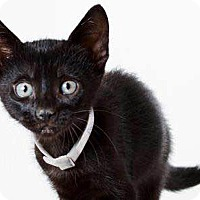 Adopt A Pet :: Avalanche - N. Billerica, MA
