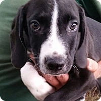 Adopt A Pet :: Archer - Gainesville, FL
