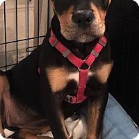 Adopt A Pet :: Harmony - Ft. Lauderdale, FL