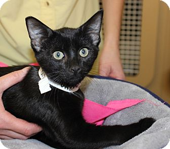 Domestic Shorthair Kitten for adoption in Las Vegas, Nevada - ONYX