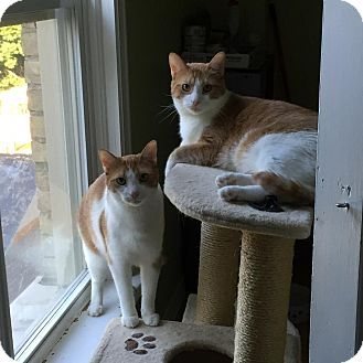 Domestic Shorthair Cat for adoption in Woodstock, Ontario - Maxie & Taffy