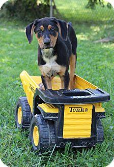 Doberman Pinscher/Coonhound Mix Puppy for adoption in Florence, Kentucky - Maya