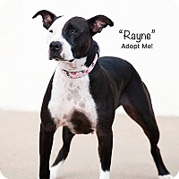 Adopt A Pet :: Rayne - Wichita, KS