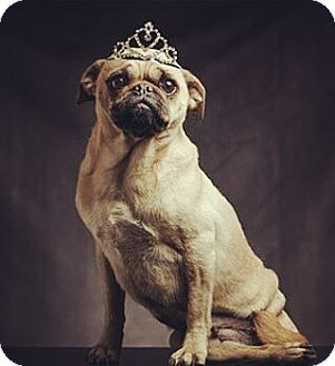 Pug Mix Dog for adoption in Los Angeles, California - Annabelle