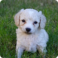 Adopt A Pet :: Junior - Aubrey, TX