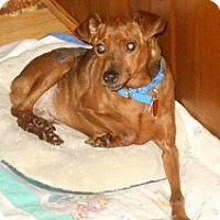 Miniature Pinscher Dog for adoption in Wellington, Ohio - Otis