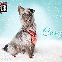 Terrier (Unknown Type, Medium) Mix Dog for adoption in New York, New York - Casey