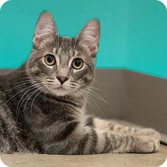 Domestic Shorthair Cat for adoption in Houston, Texas - Dreyfuss