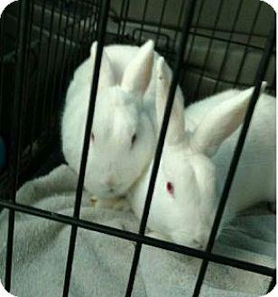 Florida White for adoption in Hillside, Illinois - Elmer