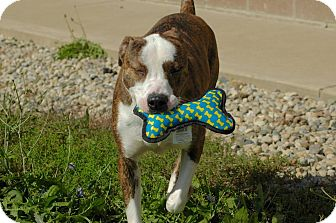 Pit Bull Terrier/American Staffordshire Terrier Mix Dog for adoption in Marion, Indiana - juke