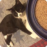 Adopt A Pet :: Felix - Overland Park, KS