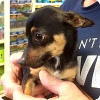 Adopt A Pet :: Boston Blackie - Concord, CA