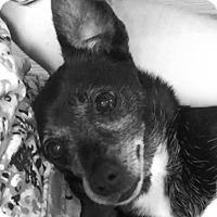 Adopt A Pet :: Raven - Essington, PA