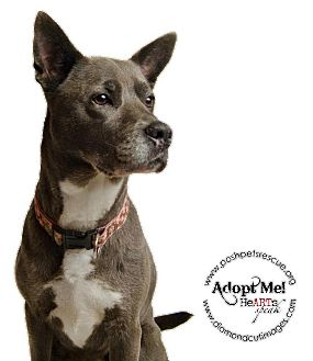 American Staffordshire Terrier/Shepherd (Unknown Type) Mix Dog for adoption in Long Beach, New York - Boston
