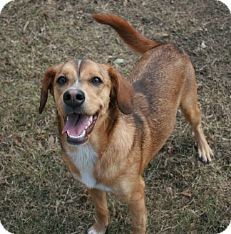Spaniel (Unknown Type)/Shepherd (Unknown Type) Mix Dog for adoption in san antonio, Texas - Nova
