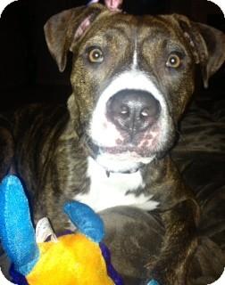 American Pit Bull Terrier Mix Dog for adoption in Yuba City, California - Marla