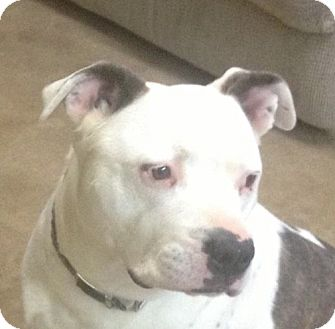 American Bulldog/American Staffordshire Terrier Mix Dog for adoption in Sacramento, California - Bear (& Jordan)