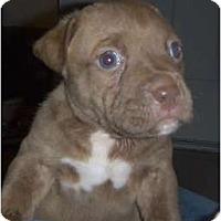 Adopt A Pet :: Loki - Mesa, AZ