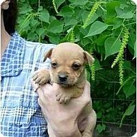 Adopt A Pet :: Butterscotch - Kingwood, TX