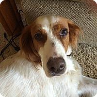 Adopt A Pet :: Daisy - NJ - Pine Grove, PA