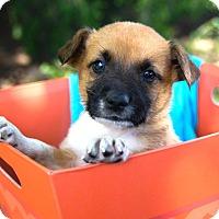 Adopt A Pet :: *Griffin - PENDING - Westport, CT