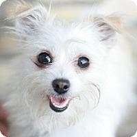 Adopt A Pet :: Lexi - Canoga Park, CA