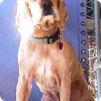 Adopt A Pet :: Beau - Santa Barbara, CA