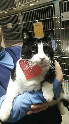 Domestic Shorthair Cat for adoption in Hamilton, New Jersey - TUX