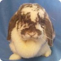 Adopt A Pet :: Waffles - Woburn, MA