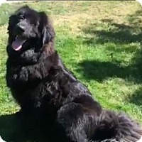Tibetan Mastiff/Newfoundland Mix Dog for adoption in menlo park, California - Miles