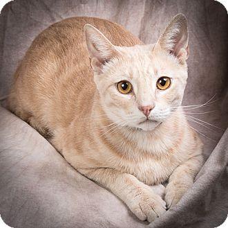 Domestic Shorthair Cat for adoption in Anna, Illinois - CEDAR