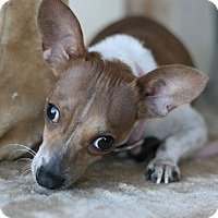 Chihuahua Mix Dog for adoption in Canoga Park, California - Maybelle