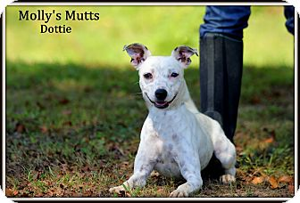 Terrier (Unknown Type, Small)/Rat Terrier Mix Dog for adoption in Dixon, Kentucky - Dottie