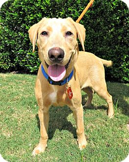 Labrador Retriever Mix Dog for adoption in McKinney, Texas - Tucker