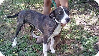 Hound (Unknown Type)/Bulldog Mix Puppy for adoption in Blountstown, Florida - Abbie