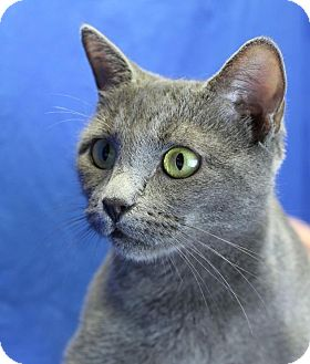 Domestic Shorthair Cat for adoption in Winston-Salem, North Carolina - Grizelda