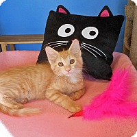 Maine Coon Kitten for adoption in Glendale, Arizona - Scarlett