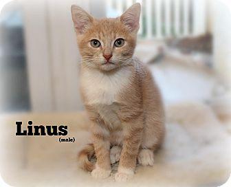 Domestic Shorthair Kitten for adoption in Glen Mills, Pennsylvania - Linus